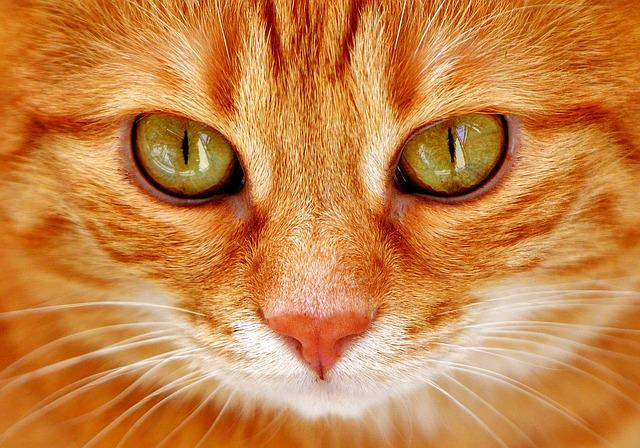 Cat, Eyes, Cat's Eyes, Face, Tiger, Mackerel, Red Cat