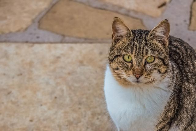 Cat, Stray, Eyes, Face, Cute, Animal, Portrait, Tabby
