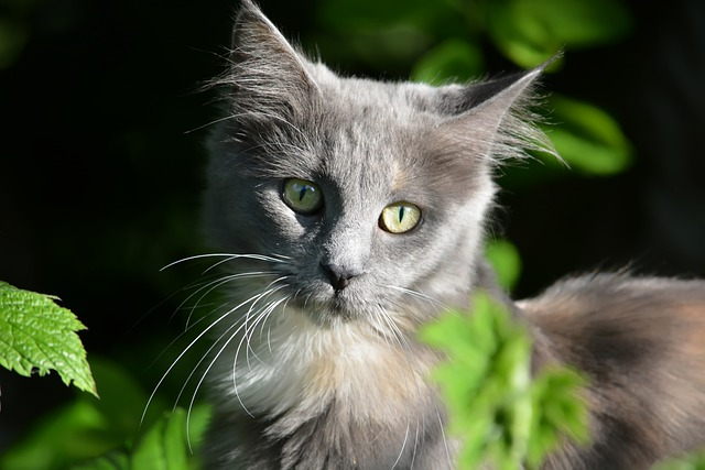 Kathy, Cat, Maine Coon, Eyes, Grey, Ears, Mustache
