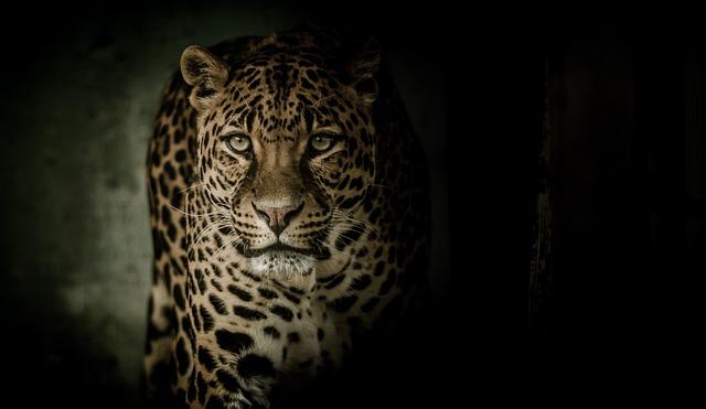Leopard, Eyes, Fearsome, Feline, Spots, Rosettes