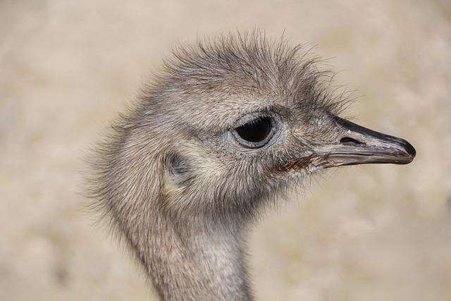 Ostrich, Head, Eyes, Animal, Bird
