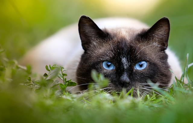 Cat, Hunting, Siamese, Eyes, Closeup, On The Nature