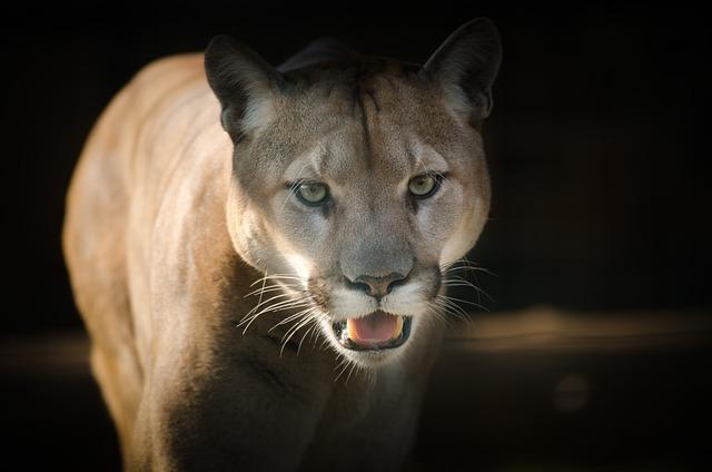 Puma, Eyes, Close, Fierce, Feline, Cougar