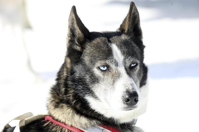 Dog, Husky, Winter, Eyes, Animals, Huskies