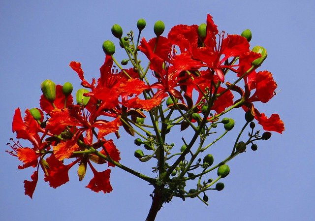 Delonix Regia, Fabaceae, Royal Poinciana, Flame Tree