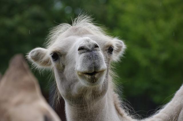 Camel, Face, Head, Zoo, Animal World, Nature, Animal
