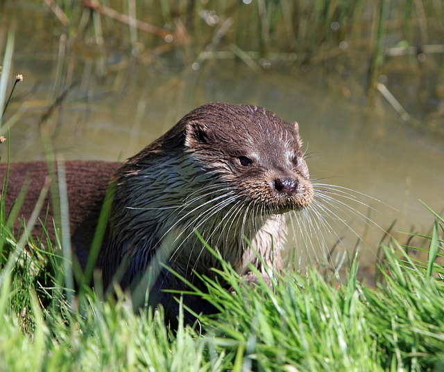 Otter, Animal, Close-up, Portrait, Head, Face, Details