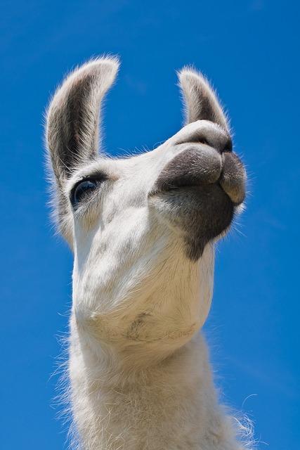 Lama, Camel, White, Portrait, Mammal, Fur, Head, Face