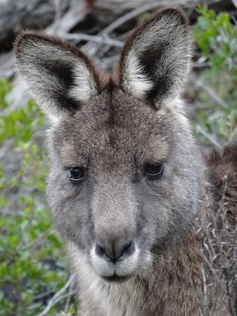 Kangaroo, Face, Marsupial, Australia, Animal, Wildlife