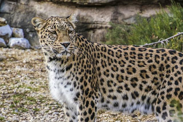 Persian Leopard, Leopard, Portrait, Close, View, Face