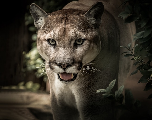 Puma, Feline, Predator, Wild, Portrait, Face, Eyes