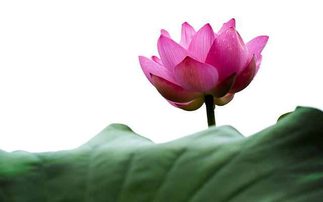 Lotus, Lotus Leaf, Nature, Greenness, Factory, Flowers