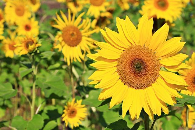 Verse First Sunflower, Flowers, Factory, Yellow
