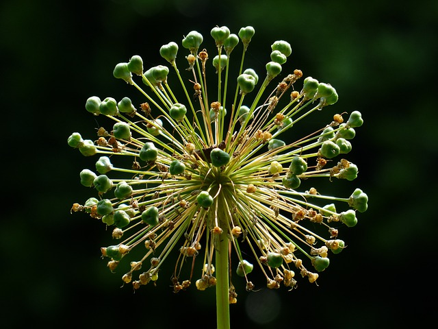 Onion Blossom, Flower Ball, Blossom, Bloom, Faded