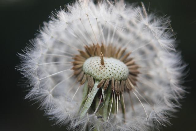 Dandelion, Nature, Faded Dandelion