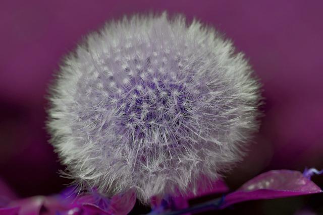 Dandelion, Seeds, Plant, Flora, Faded, Flying Seeds