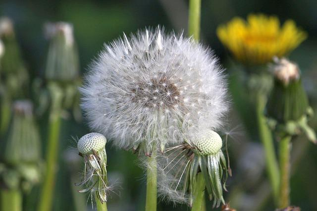 Dandelion, Seeds, Close, Flower, Faded, Nature, Plant
