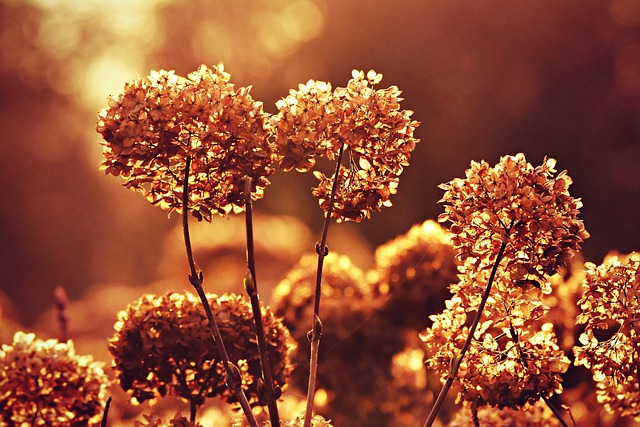 Hydrangea, Hortensia, Faded, Withered, Dry, Transience