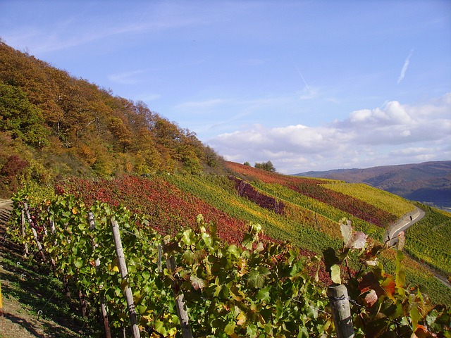 Vineyard, Vines, Fall Foliage, Faerburg, Middle Rhine