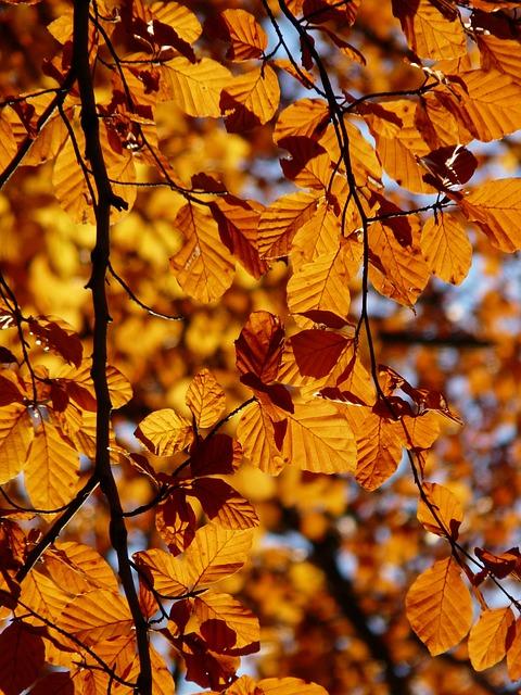 Beech, Fagus Sylvatica, Fagus, Deciduous Tree