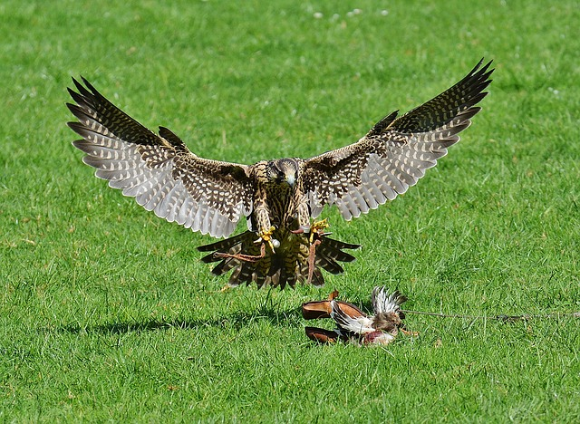 Falcon, Wildpark Poing, Approach, Prey, Access, Raptor