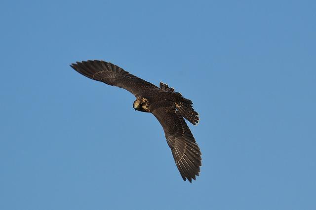 Falcon, Wildpark Poing, Flight, Fly, Raptor