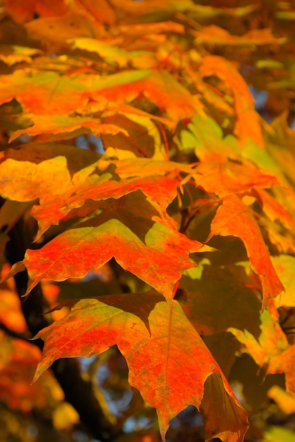 Leaves, Canopy, Autumn, Fall Color, Branch, Maple