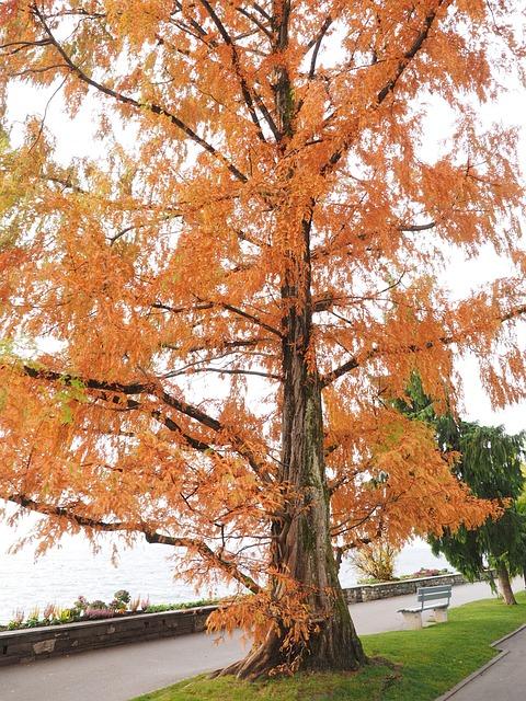 Mimosa, Ornamental, Fall Color, Leaves, Tree
