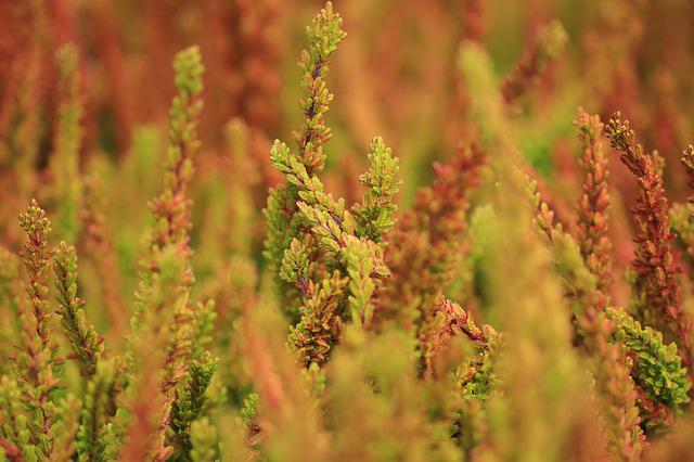Heide, Plant, Plants, Autumn, Fall Colors, Autumn Color