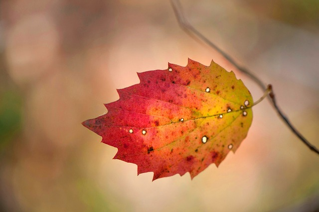 Leaf, Fall, Nature, Flora, Outdoors, Desktop, Tree