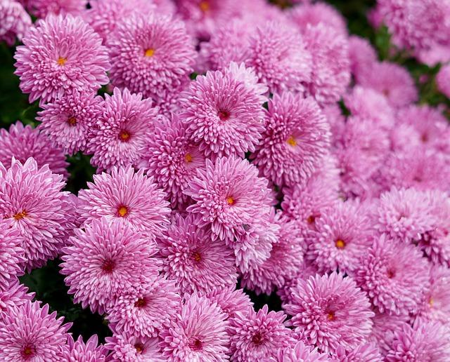 Mums, Fall Flowers, Autumn, Chrysanthemum, Blooming
