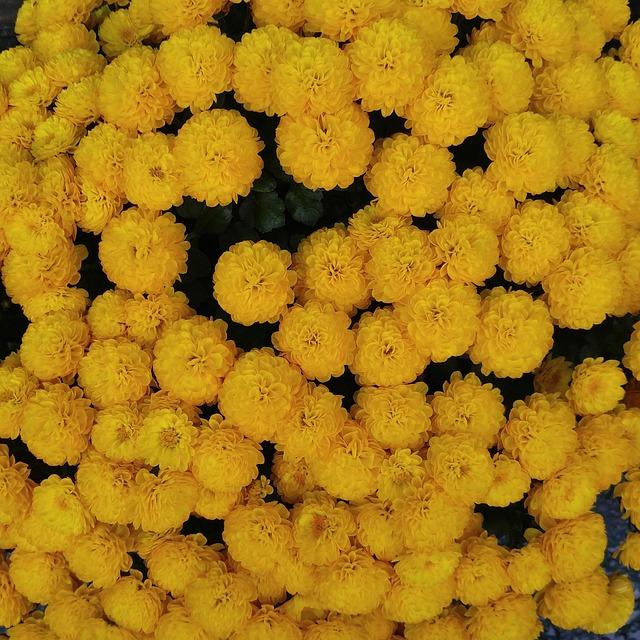 Free photo yellow chrysanthemums fall flowers nature max pixel autumn chrysanthemum flowers fall flowers mightylinksfo