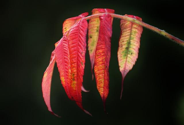 Rhus, Fall Foliage, Autumn Colours, Colorful Leaves
