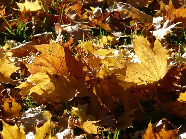 Fall Foliage, Back Light, Light, Leaves, Autumn