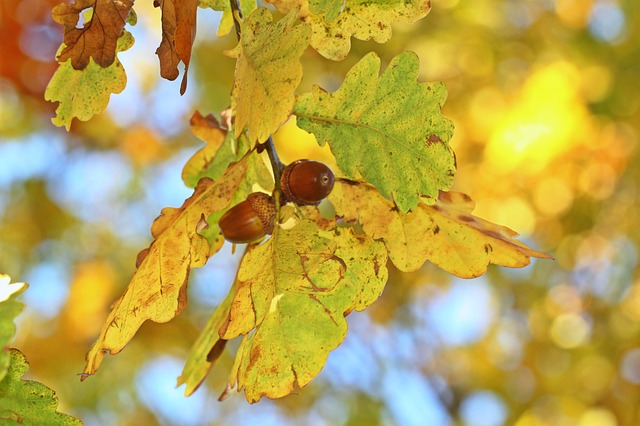 Fall Foliage, Autumn, Oak Eichenlaub, Acorns