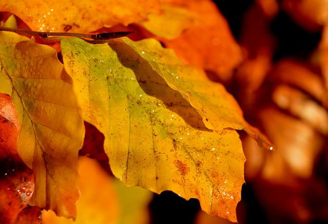 Beech Leaves, Autumn Colours, Fall Leaves