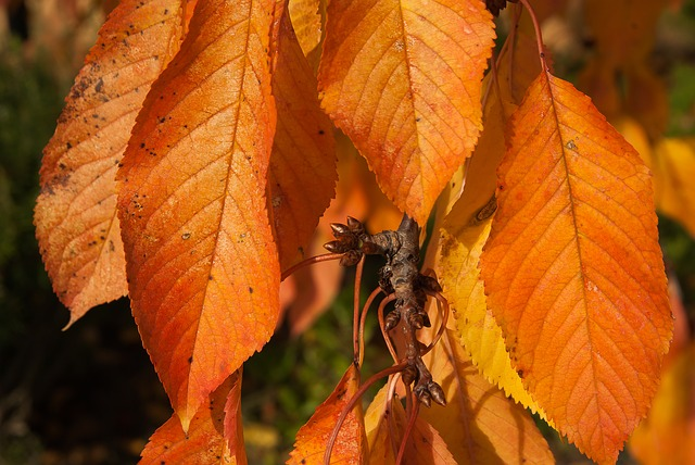 Fall, Cherry, Leaves, Bud