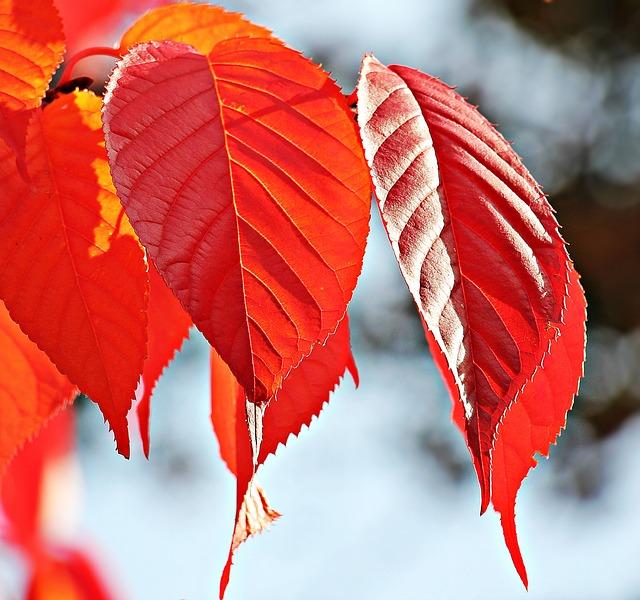 Autumn, Fall Leaves, Leaves, True Leaves, Fall Color