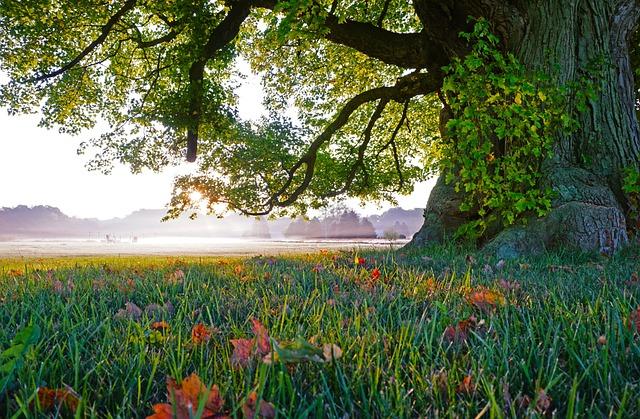 Old Tree, Fall Leaves, Morning Mist