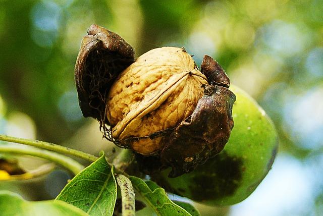 Nuts, Fall, Harvest, Maturity, Walnut, Garden