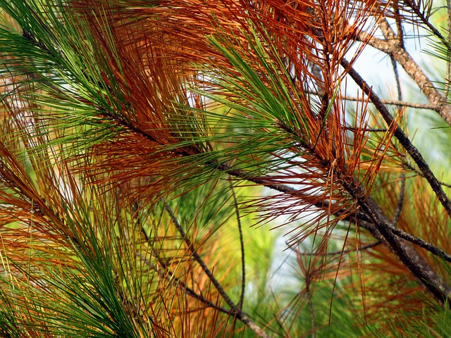 Pine, Tree, Pine Needles, Nature, Pine Branch, Fall
