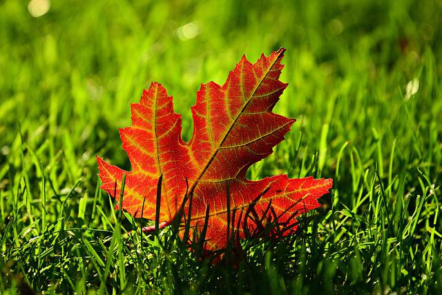 Maple Leaf, Fall, Leave, Autumn, Vein, Leave Vein, Red