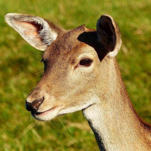 Fallow Deer, Doe, Animal Portrait, Fur, Wildlife Park