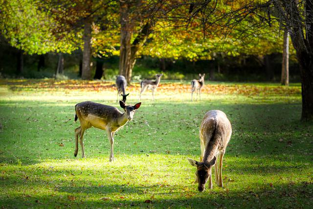 Roe Deer, Glade, Meadow, Fallow Deer, Nature, Forest