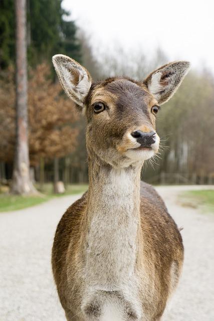 Animals, Doe, Portrait, Forest Animal, Fallow Deer