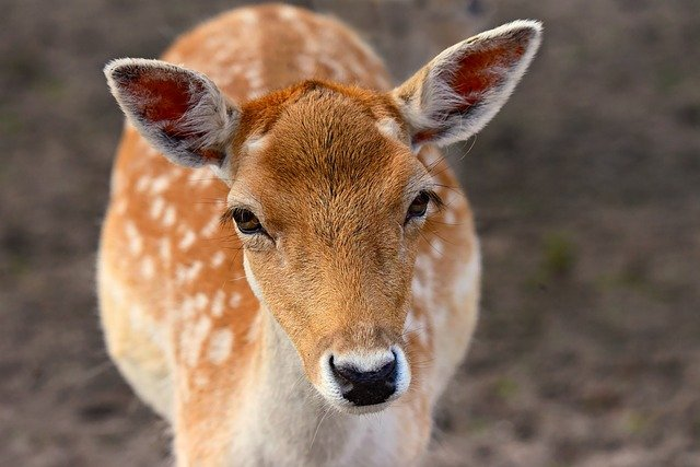 Fallow Deer, Animal, Mammal, Ruminant, Even Hoof