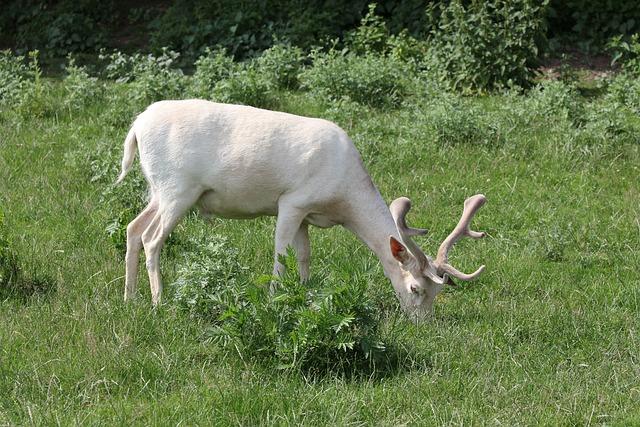 White Fallow Deer, Mutation, Wild, Fallow Deer, Grass