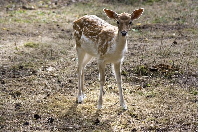 Young Fallow Deer, Kitz, Fallow Deer, Fur, Stains