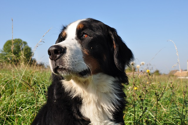Dog, Bernese Mountain Dog, Animal, Nature, Family