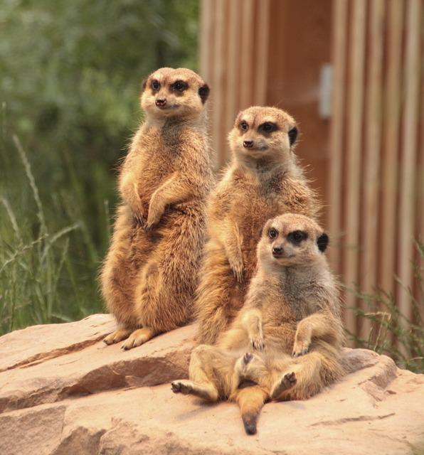 Meerkat, Family, Zoo, Animals, Cute, Attention, Group